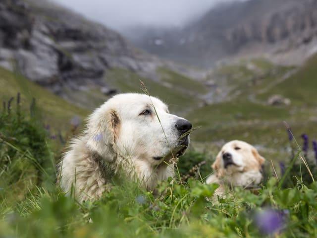 Herdenschutzhunde auf einer Wiese.