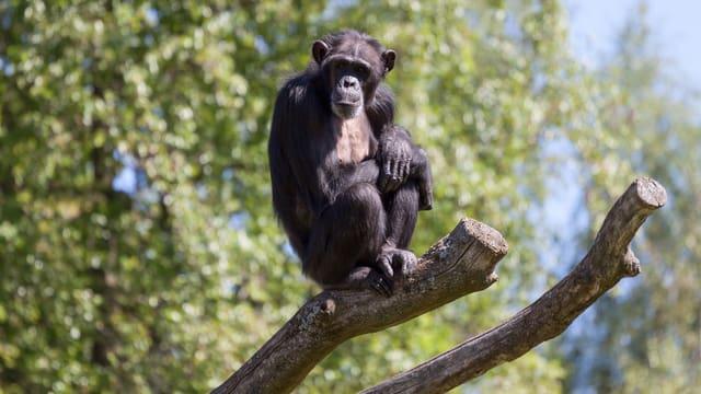 Ein Schimpanse sitzt auf einem Ast.