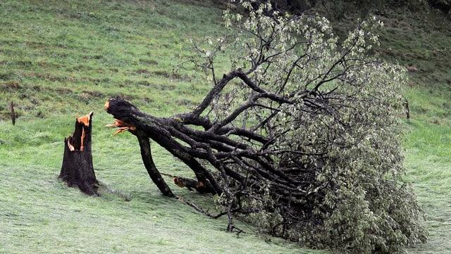 umgeknickter Baum