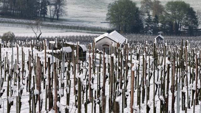 Ina vigna. Las vits èn curcladas cun ca. 3 centimeters naiv. Davosvart ina chasina da viticulturs.