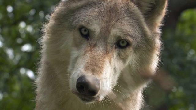 Wölfin schaut direkt in Kamera