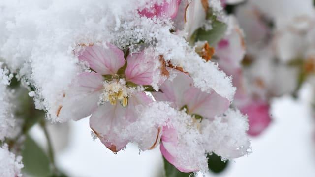 Apfelblüten sind mit Schnee bedeckt.
