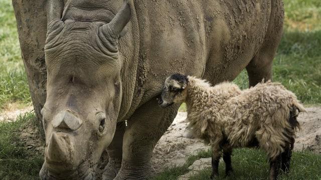 Schaf und Nashorn.