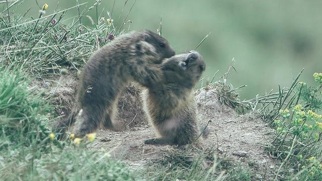 Zwei junge Murmeltiere bäumen sich im Spielkampf aneinander auf.
