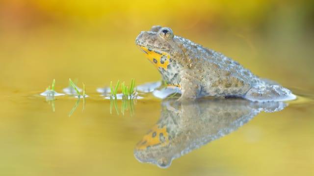 Gelbbauchunke spiegelt sich im Wasser