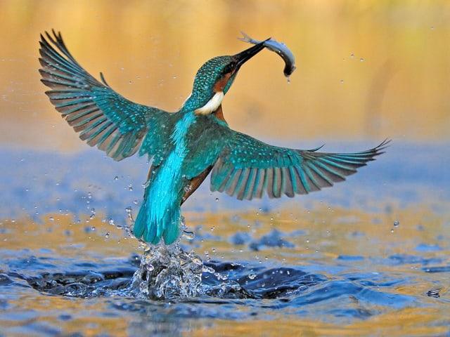 Ein Eisvogel mit einem gefangenen Fisch im Schnabel.