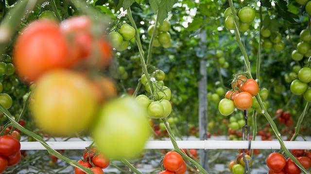 Bleras tomatas cotschnas e verdas.