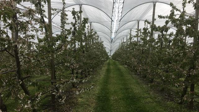 Kirschbäume mit Plastikdächern