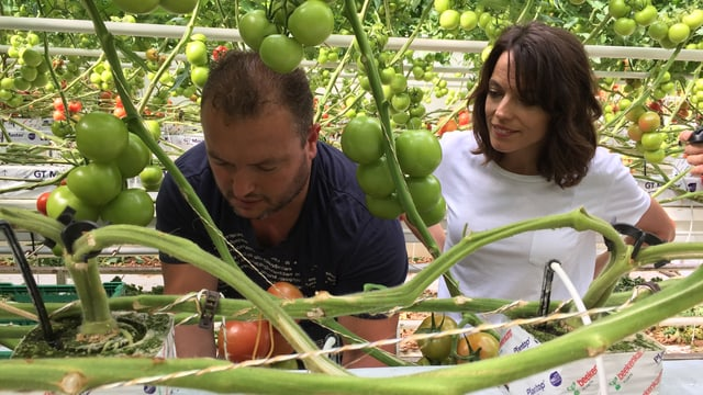 Mona Vetsch und Manuel De Sousa überprüfen jede Tomatenpflanze.