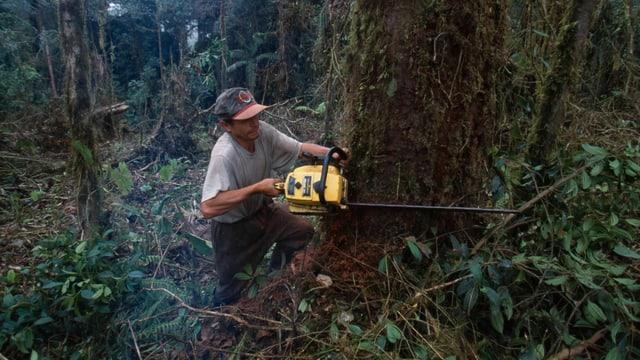 Abholzung Regenwald mit Kettensäge