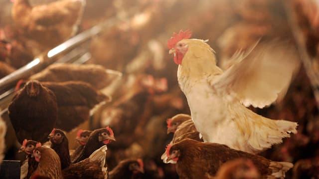 Hahn in riesigem Hühnerstall.