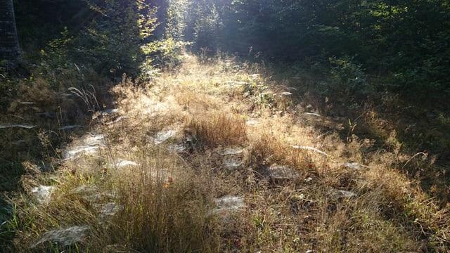 In der Nachmittagssonne glänzen Spinnnetze auf einem Waldboden bei Biberist