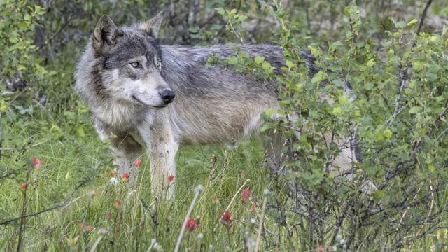 Nordamerikanischer Wolf im Gras und Gebüsch