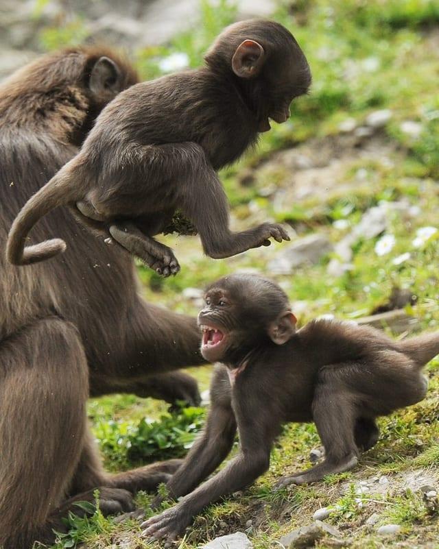 Zwei kleine Affen, die sich streiten.
