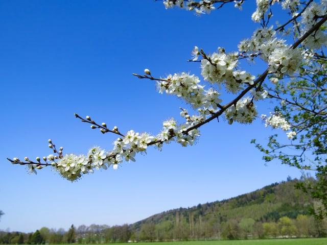 Ast mit Blüten. Dahinter blauer Himmel.