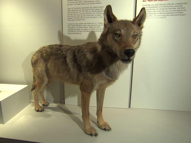 Wolf von Hägendorf im Ausstellungsraum.