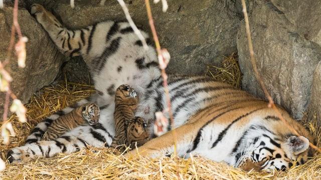 Drei Tigerbabies trinken bei der Mutter Milch