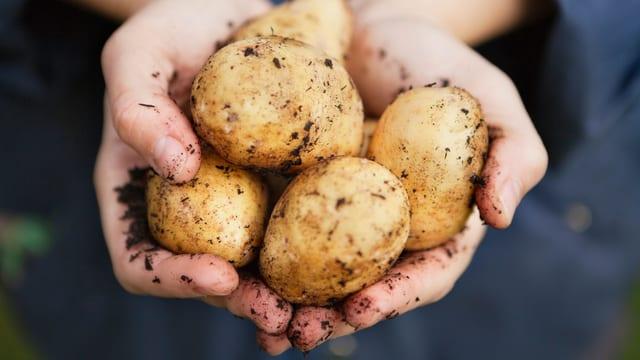 Eine Hand hält Kartoffeln.