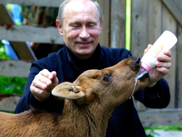 Wladimir Putin füttert einen Jung-Elch mit Milch aus der Flasche. (6.1.10)