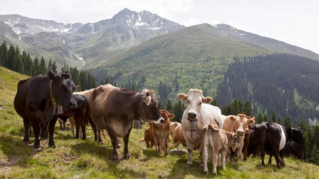 Mutterkühe mit Kälbern auf einer Alpweide