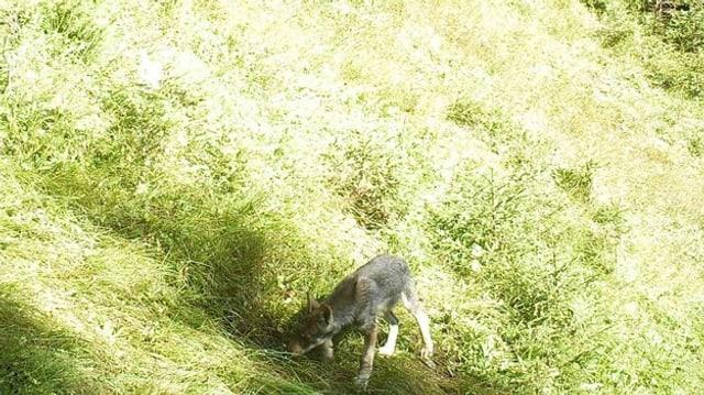 Ein junger Wolf auf der Wiese.