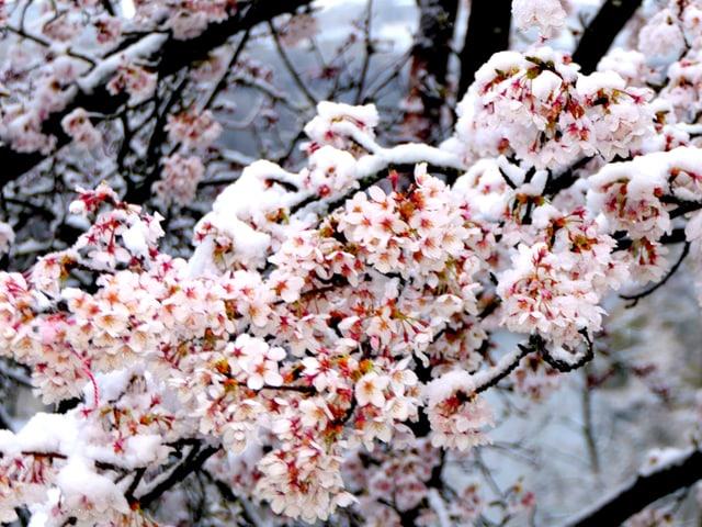 Schnee auf lila Blüten.
