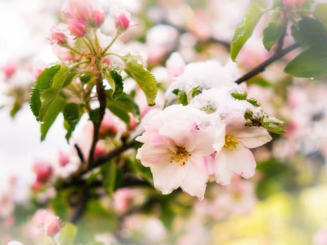 Apfelblüten mit einem Schäumchen Schnee