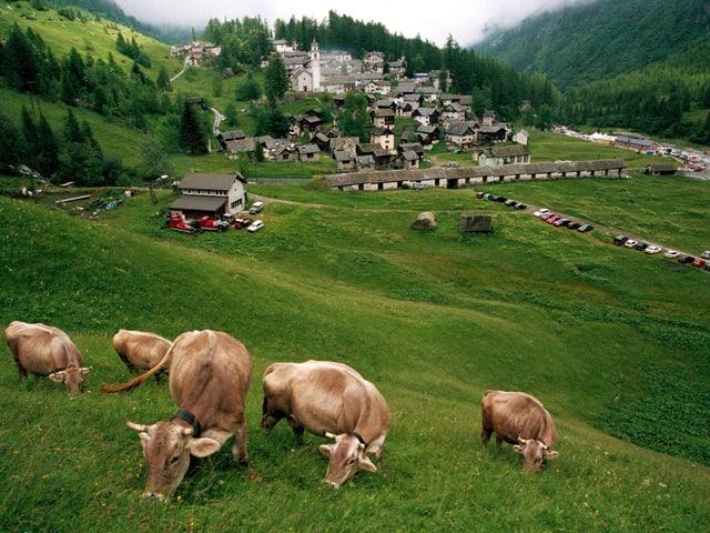 Dorf mit Kühen im Vordergrund