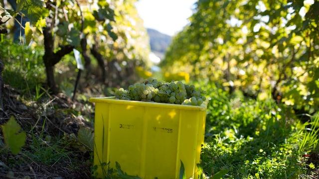 Weinlese im Thurgau.