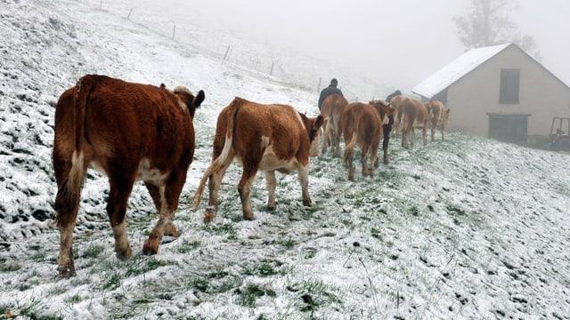 Kühe im Schnee.