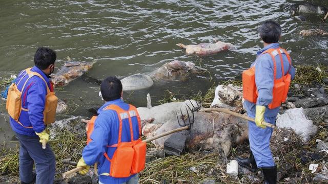 Männer fischen tote Schweine aus dem Fluss