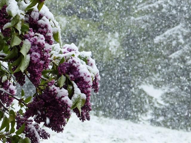 Links im Bild der schneebedeckte violete Flieder. Rechts im Bild starkes Schneetreiben.