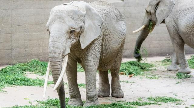 Bild von Elefantenkuh Malayka