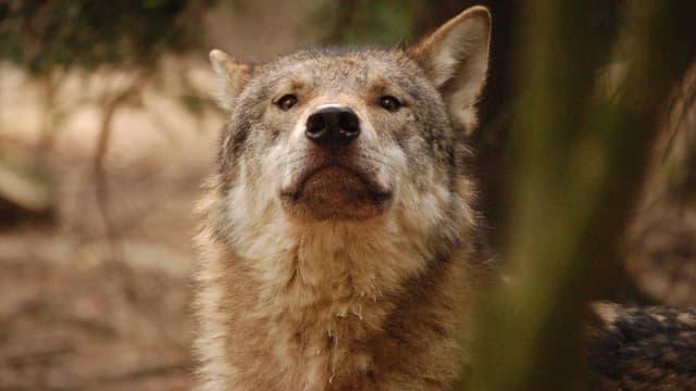 Video ««Wolf und Bär: Risse im Land» (schweizerdeutsche Version)» abspielen