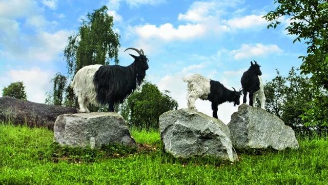 Drei Ziegen stehen auf Steinen und blicken in die Ferne