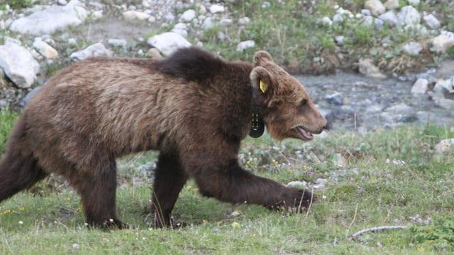 En il Trentino è la populaziun da l'urs danovamain creschida.