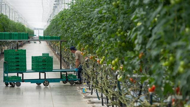Tomatenanbau in Gewächshaus