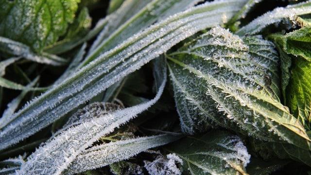 Zu sehen ist eine Pflanze, die mit Frost überzogen ist.