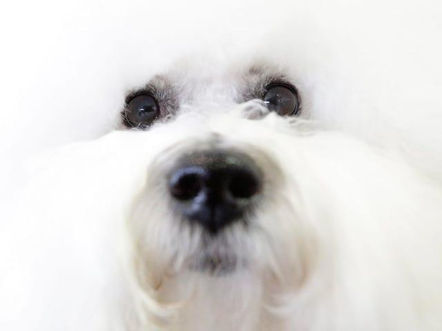 Nahaufnahme des Gesichts eines Hundes der Rasse Bichon Frisé.