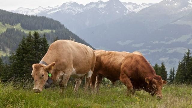Zwei braune Kühe sind auf einer Weide auf der Alp. Im Hintergrund kann man die Berge erkennen.