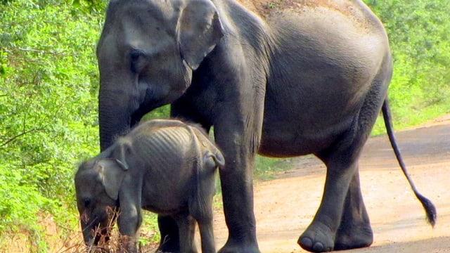 Sperrt man Elefanten mit Zäunen in Nationalparks ein, finden sie oft zu wenig Nahrung.