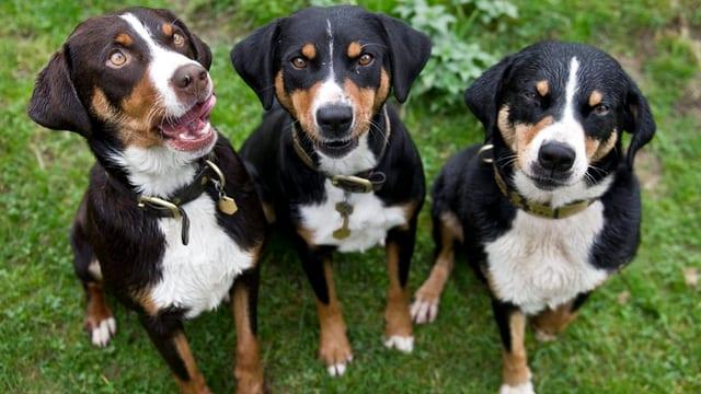 Drei Appenzeller Sennenhunde