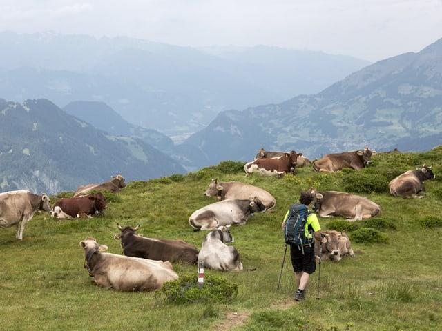 Wanderer läuft an Herde Kühe vorbei