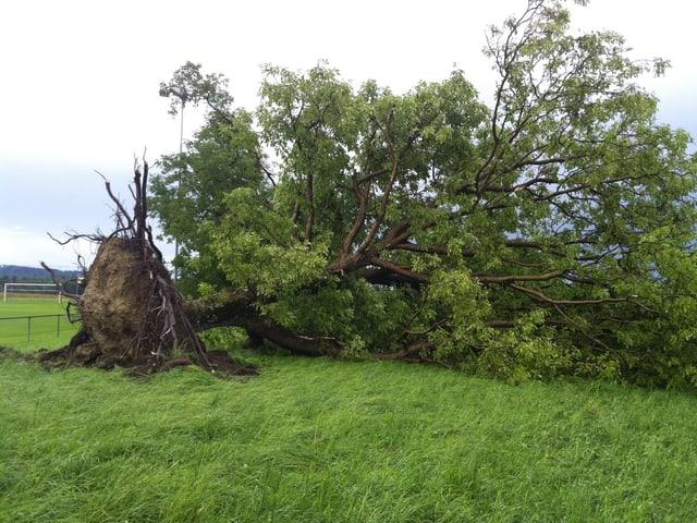 Umgestürzter, grosser Baum.