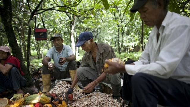 Arbeiter schöpfen Fruchtfleisch und Samen aus Kakao.