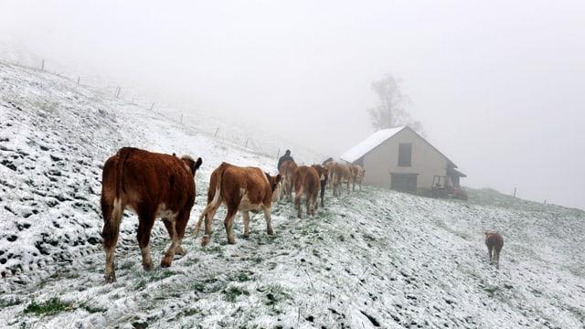 Kühe stapfen am Passwang über eine angezuckerte Wiese.