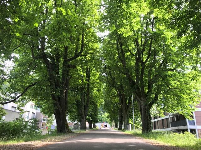 Rosskastanienbäume