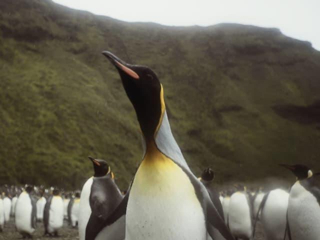 Ein ausgewachsenes Tier kann zwischen 85 und 95 Zentimeter gross werden.