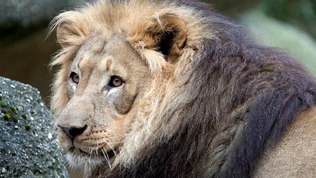 Der Löwe - eine Nahaufnahme.