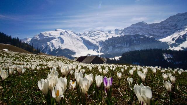 Krokusse auf einer Bergwiese ob Engelberg.